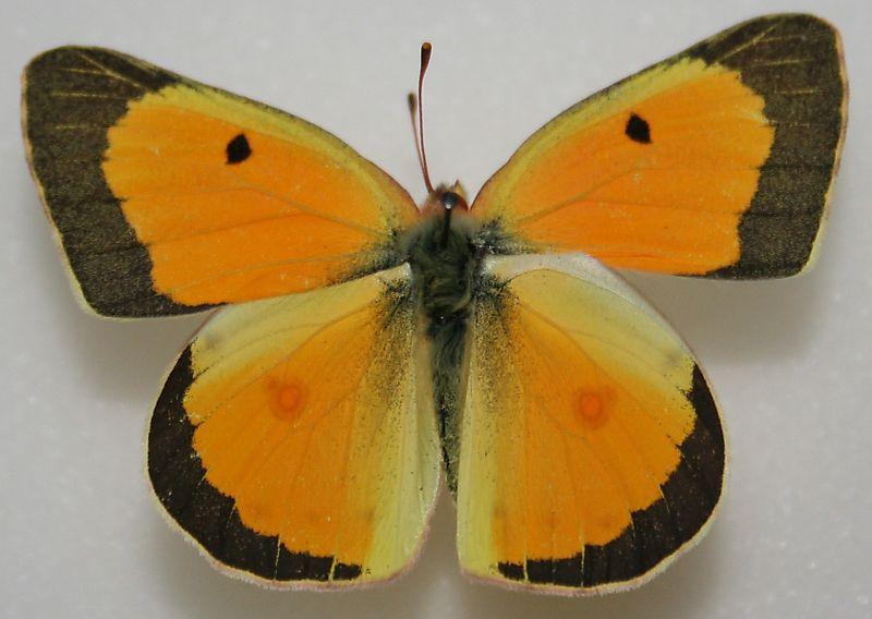 Male_Orange_Sulphur_Megan_McCarty18