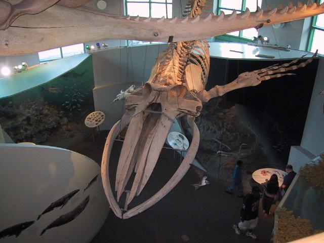 Whale_skeleton