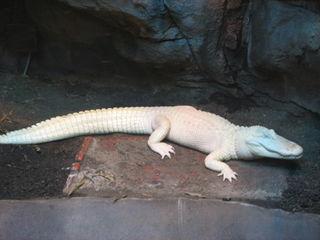 American_Alligator_001
