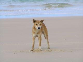 Dingo-Fraser_Island