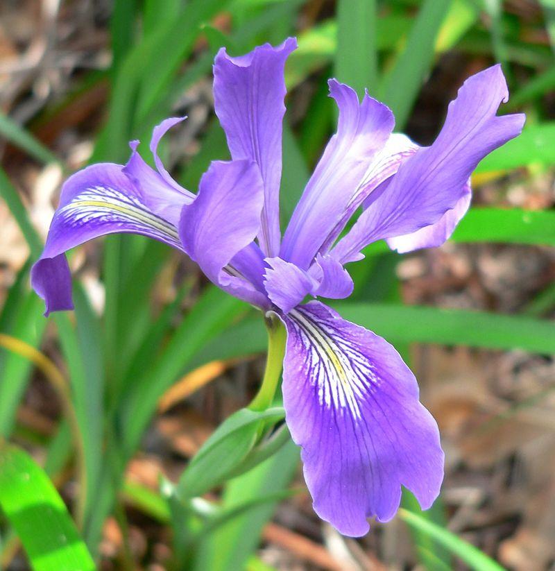 Iris_douglasiana_1