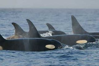Orca_pod_southern_residents