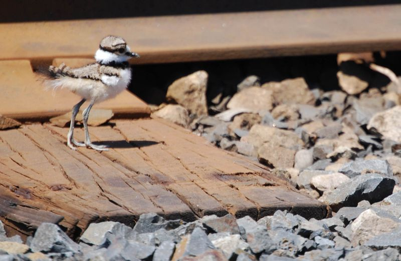 Baby_Killdeer