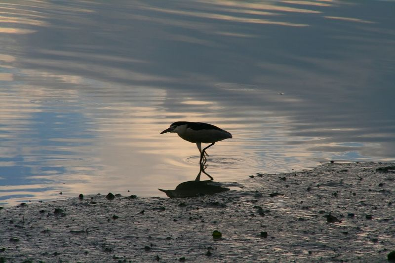 Frankyboy_Night_Heron
