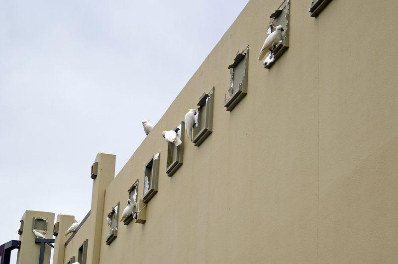 Cockatoos defacing a building. Photo: Bidgee, Creative Commons Attribution-Share Alike 3.0 Unported