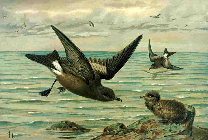 Naumann, Naturgeschichte der Vögel Mitteleuropas.