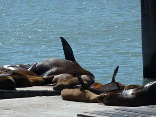 Photo: Susan McCarthy. Public domain. (If you're a sea lion, and you get too hot, stick your flipper in the air. If you're a person, try sticking your foot out of the covers.)