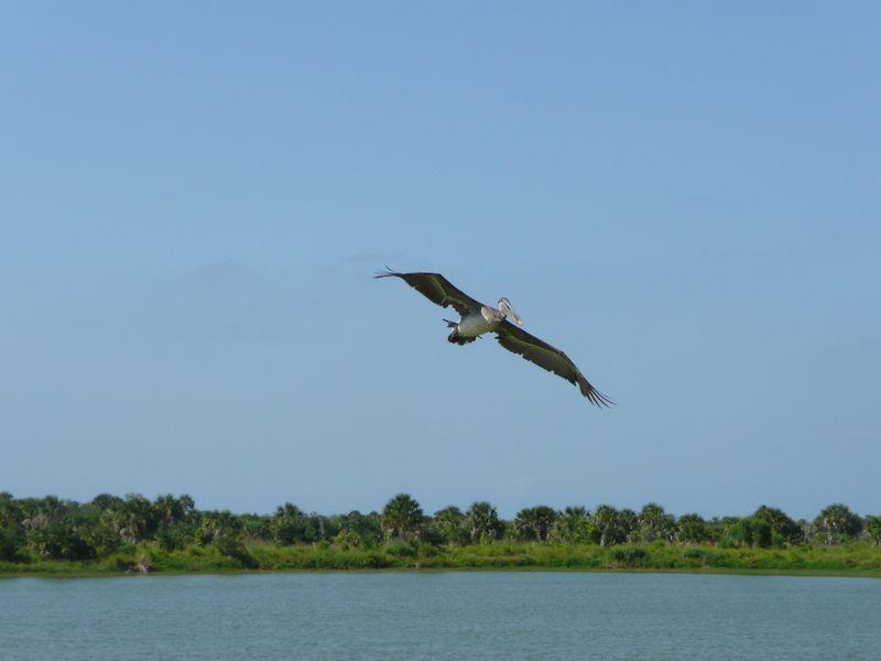 Photo: U.S. Fish & Wildlife Service, Northeast Region. Public domain. Washed pelican flying.