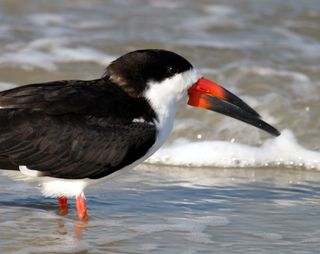 Black skimmer. Photo: Bruce Tuten. Creative Commons Attribution 2.0 Generic.