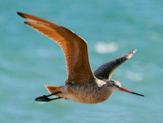 Photo: Dick Daniels (http://carolinabirds.org/). Creative Commons Attribution-Share Alike 3.0 Unported. Marbled godwit, native but undocumented.