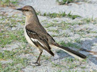 Photo: Author Dick Daniels (http://carolinabirds.org/) Creative Commons Attribution-Share Alike 3.0 Unported.