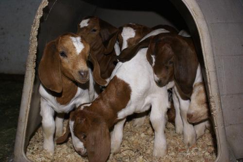 10 Boer goat kids in a plastic igloo. Photo: Sarah McCarthy