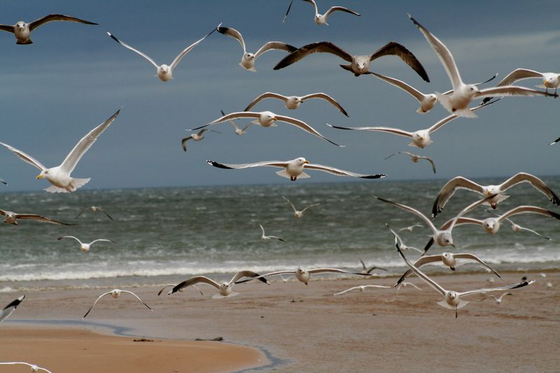 Photo by John Haslam, Dornoch, Scotland. Creative Commons Attribution 2.0 Generic. These gulls are trying to catch and eat a stale baguette.