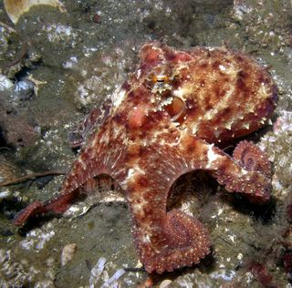 Octopus rubescens. Photo: Kirt L. Onthank. Creative Commons Attribution-Share Alike 3.0 Unported