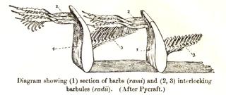 Drawing: W R Ogilvie Grant. Public domain.