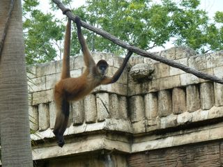 Black-handed spider monkey. Public domain.