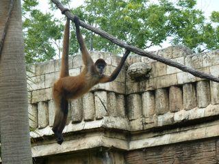 Black-handed spider monkey. Public domain.