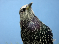 Photo: From PloS. Creative Commons Attribution 2.5 Generic. Starling, so very not a native.