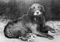 Public domain. Buccleuch Avon, an ancestral Labrador retriever. Bucky, as I shall call him, was born in 1885. By the time this picture was taken, his jowls had gone white. Clea was much whiter than this in old age.