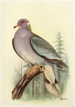 Band-tailed pigeon. Print: A Brooks.