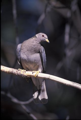 Band-tailed pigeon. Photo: Gary Kramer, for USF&WS. Public domain.