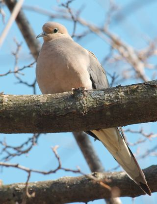 Mourning dove. Photo: Dori. GNU Free Documentation License 1.2. See how pointy-tailed.
