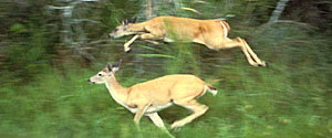 Photo. U.S. Fish & Wildlife Service, no author. Okay, these are actually white-tailed deer.