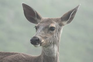 Photo: Walter Siegmund. GNU Free Documentation license 1.2. Also a white-tail.