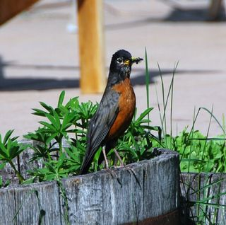 Photo: Ciar. Creative Commons Attribution-Share Alike 3.0 Unported. (Not the actual robin we saw, but a better picture than the one we took.) What are you looking at?