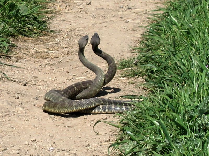 "Photo: Dawn Endico. Creative Commons Attribution-Share Alike 2.0 Generic. http://www.flickr.com/photos/51035743246@N01/139896364 This apparently shows two male snakes wrangling. ""Nightmares? I'll give you nightmares."""