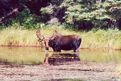 "Moose. Photo: Delphine Ménard (notafish }<';> ). Creative Commons Attribution-Share Alike France. ""Wait, what?"""