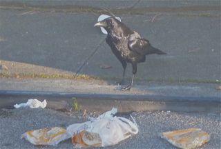 Public domain. Raven in San Francisco.