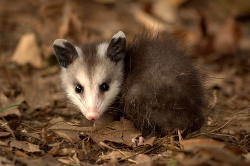 Young possum in oak leaves. Photo: Liam Wolff. Free Art License. (Probably not as thoughtful as it looks.)