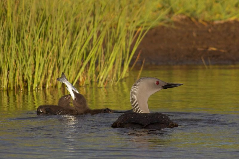 Red-Throated_Loon_juvenile_eating_fish