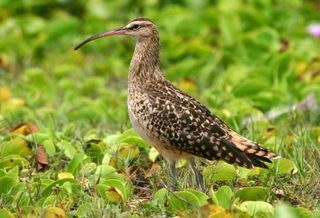 Bristle-thighed Curlew. Photo: NPS, Bryan Harry. Public domain.