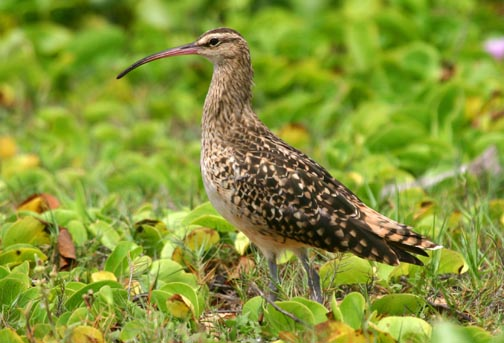 Bristle-thighed_Curlew