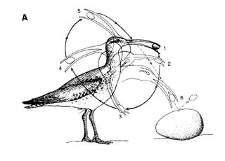 Bristle-thighed Curlew breaking into albatross egg