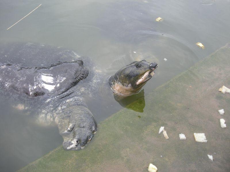 Bostami_Turtle