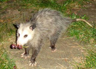 Possum. Photo: Risssa. Public domain. (My grapes, mine.)