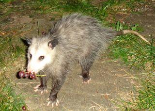 Possum. Photo: Risssa. Public domain. (My grapes, mine.)