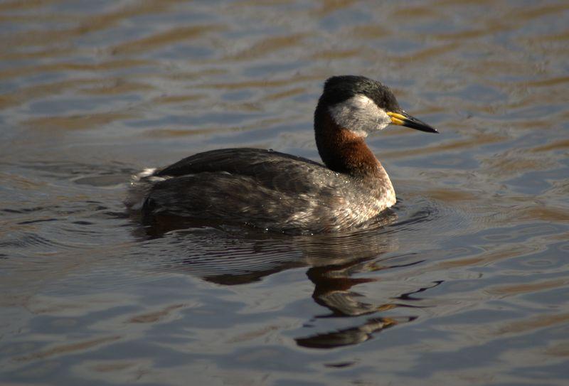 Bird_of_species_podiceps_grisegena_in_denmark