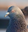 Pigeon_portrait_4861_2